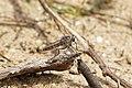 Philodicus sp 6059.jpg