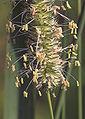 Phleum pratense subsp. pratense, timothee (1).jpg
