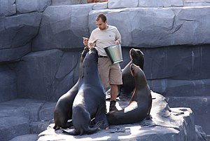 Zookeeper - A zookeeper with eared seals at the Paris Zoological Park.