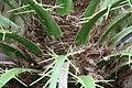 Phoenix roebelenii 7zz.jpg