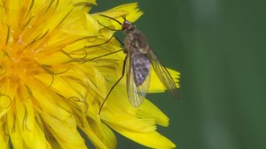 File:Phthiria sp - 2012-10-16.webm