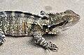 Physignathus lesueurii -Australia Zoo-8a.jpg