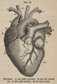 Physiology for Young People - 1884 - Heart.png