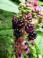 Phytolacca acinosa - Indische Kermesbeere - panoramio.jpg