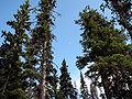 Picea engelmannii HyasLake.jpg