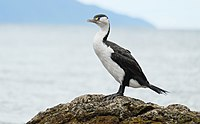Pied Shag standing on rock.jpg