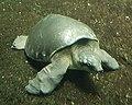 Pig-nosed turtle (Carettochelys insculpta).jpg