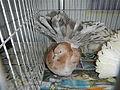 PigeonExpoManilajf1829 27.JPG