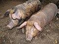 Pigs, Halfcrown Corner Covert - geograph.org.uk - 624054.jpg