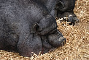 English: Pot bellied pig at Lisbon Zoo
