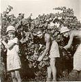 PikiWiki Israel 17645 Harvest at Mikveh Israel.jpg