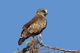 Short-toed snake eagle - Image: Piki Wiki Israel 43227 Wildlife and Plants of Israel