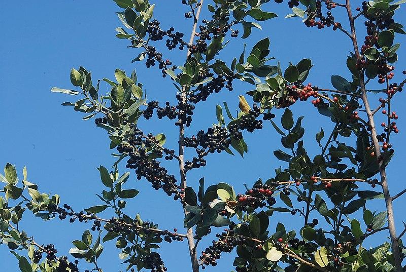 הפירות השחורים של אשחר רחב עלים