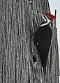 Pileated Woodpecker on Drummond Island - 49390426858.jpg