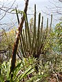 Pilosocereus royenii - Guadeloupe.JPG