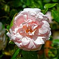 Pink rose bloom of a climbing rose at Boreham, Essex, England 1.jpg