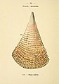 Pinna nobilis - Atlas de poche des coquilles des côtes de France - Paul Klincksiek - 1913.jpg