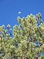 Pinus contorta murrayana foliage.jpg