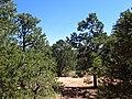 Pinus edulis kz10.jpg