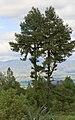 Pinus leiophylla Tulancingo.jpg