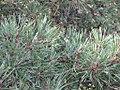 Pinus silvestrys - Beli bor (5).jpg