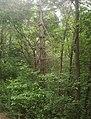 Pinus strobus branches.jpg