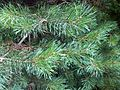 Pinus sylvestris - UK 2.jpg