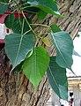 Pipul leaf.JPG