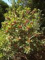 Pistacia lentiscus CBMen 1.jpg