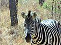 Plains Zebra, SA.JPG