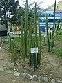 Planta de San Pedro en el Jardín Botánico de Lima.jpg