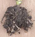 Plasmodiophora brassicae on cauliflower, Knolvoet bij bloemkool (5).jpg