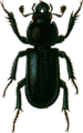 Platycerus caraboides Jacobson.png