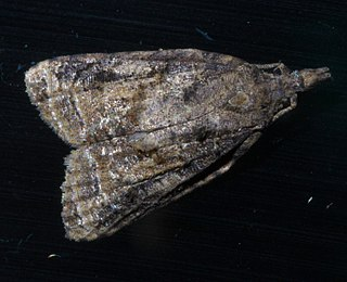 <i>Platynota</i> (moth) Genus of tortrix moths