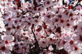 Plum-tree-spring-blooms - West Virginia - ForestWander.jpg
