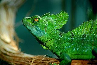 Pleurodonta Clade of lizards