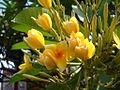 Plumeria buds.JPG