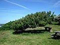 Pochyłe od wiatru drzewa w Hasle - panoramio.jpg