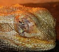 Pogona vitticeps after an eye operation.JPG