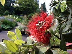 Polenadekrano, Bristol Botanic Garden.JPG