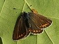 Polyommatus icarus ♀ - Common blue (female) - Голубянка икар (самка) (40326199994).jpg