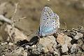 Polyommatus icarus - Çokgözlü mavi 07.jpg