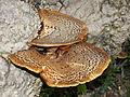 Polyporus squamosus 2013 G4.jpg