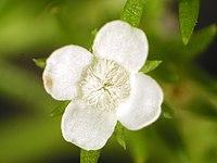 Polypremum procumbens, white
