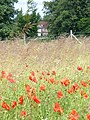 Poppies in Season, West Horsley - geograph.org.uk - 494421.jpg