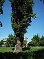Populus nigra-bekes-1.jpg