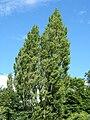 Populus nigra Plantierensis2.jpg