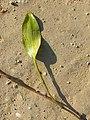 Potamogeton nodosus sl47.jpg
