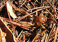 Potato bug cropped 2.jpg