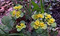 Premenjalnolistni vraničnik (Chrysosplenium alternifolium) (3442995631).jpg